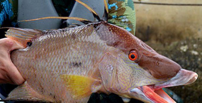 Pan-Fried Hogfish